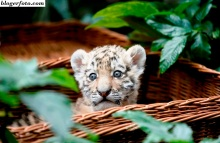 Anak harimau amur lahir di Kebun Binatang Tierpark Friedrichsfelde, Berlin, Jerman